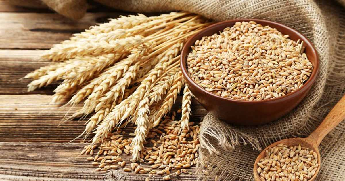mount sinai researchers find wheat oral immunotherapy to be
